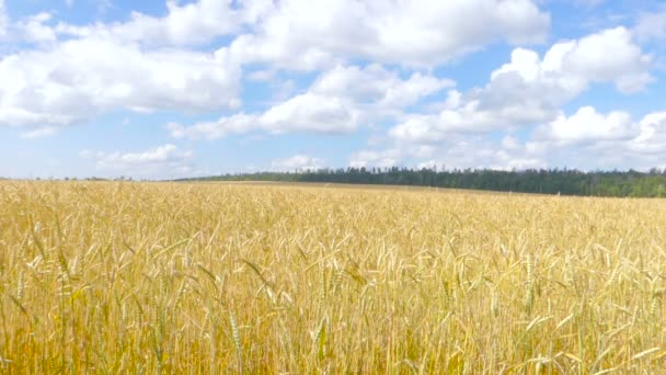 Yellow ears of wheat swaying in the wind on the field in a sunny summer day. White clouds in the blue sky. Rural landscape.