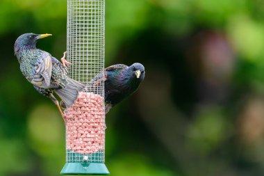 Two adult common starlings (Sturnus vulgaris)