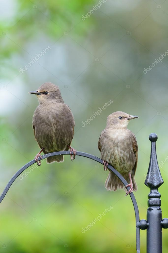 Two juvenile fledgling starlings