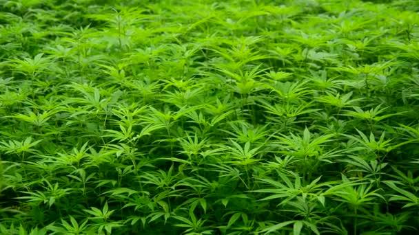 Hemp Plants growing in Wild