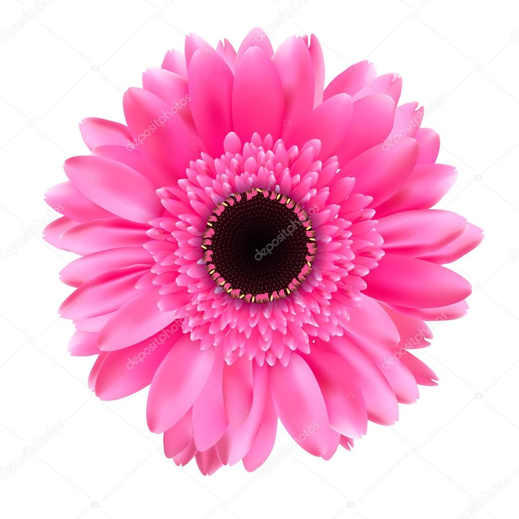 Gerbera Flower Isolated on White Background Vector Illustration