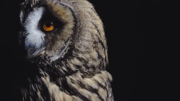 Hosszú fülű bagoly fekete háttérrel forgatja a fejét. Gyönyörű madár élénk sárga szemekkel