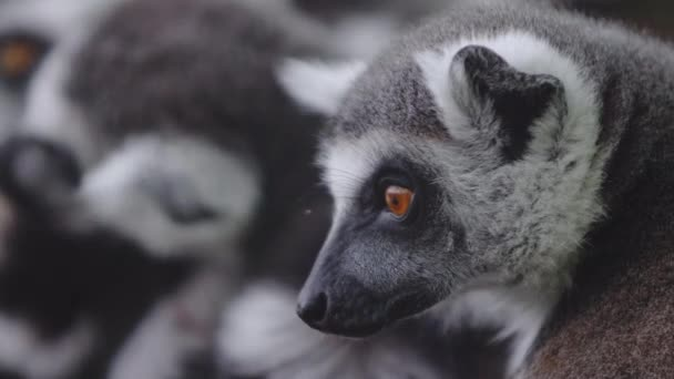 A group of lemurs. One of the group of lemurs turns and looks at you with an inquiring gaze. A cute group of funny pussies