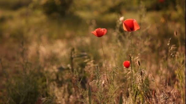 Vlčí máky kvetou blízko nahoru