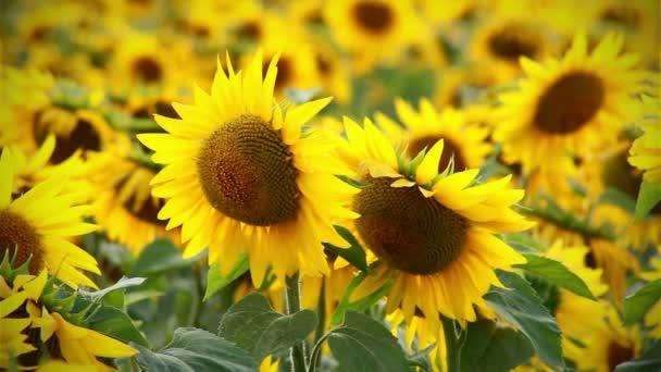 Pozadí některé slunečnice