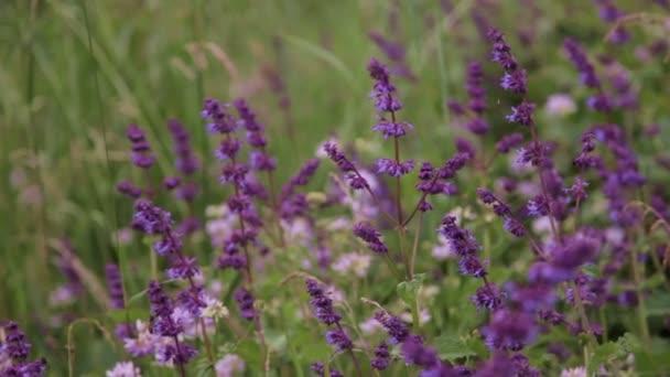 Purpursalbei auf einer wilden Wiese mit einer Biene