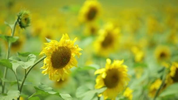 Slunečnice s bee v poli