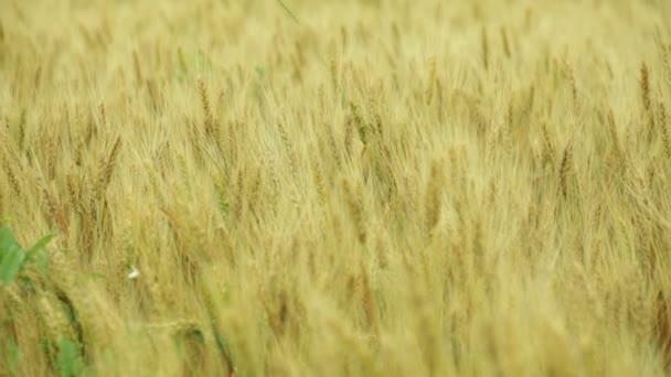 flight over a field of golden wheat on the horizon