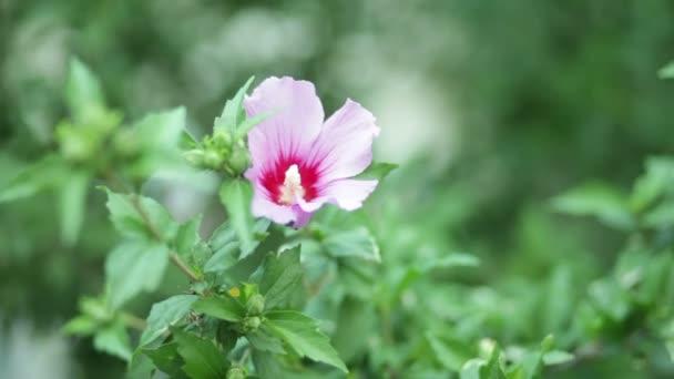 Hibiscus syriacus virág bush
