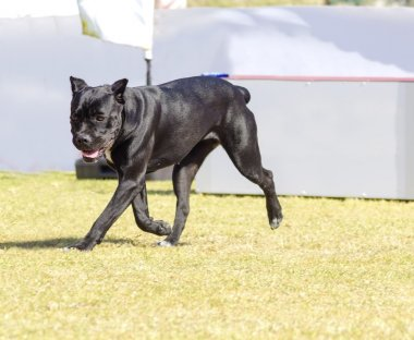 A young, beautiful black and white medium sized Cane Corso dog with cropped  ears running on the grass. The Italian Mastiff is a powerfully built animal with great intelligence and a willingness to please. stock vector