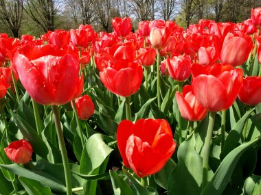World of tulips.