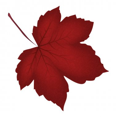 Image of realistic red maple leaf . Vector illustration isolated on white background.