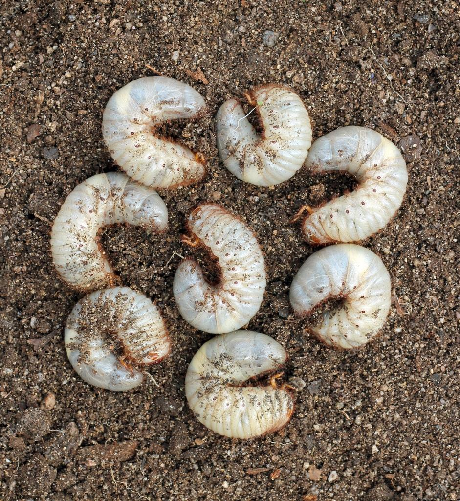Group of beetle larvae on the ground.