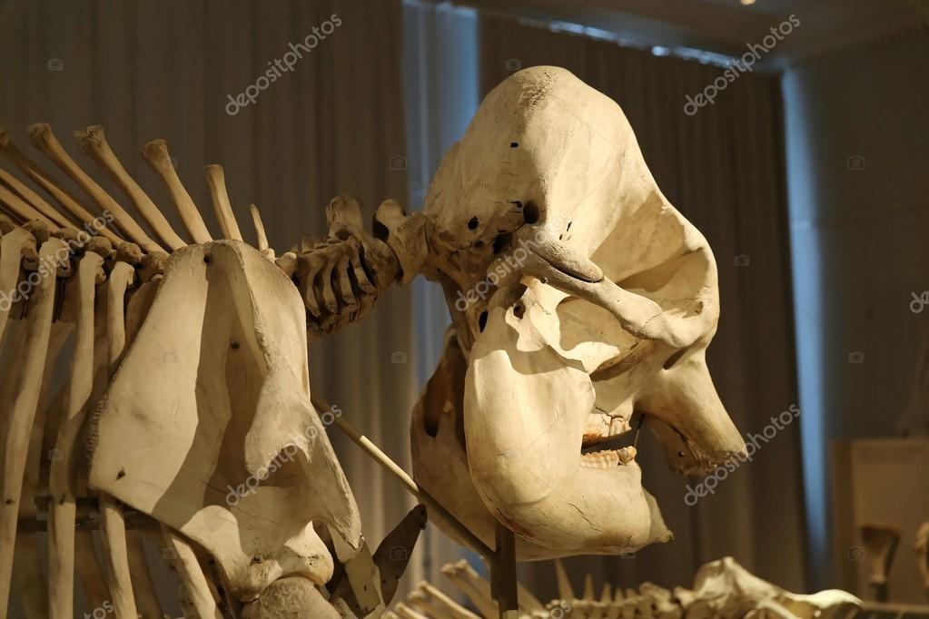 Esqueleto de elefantes con la cabeza — Fotos de Stock © Ribtoks ...