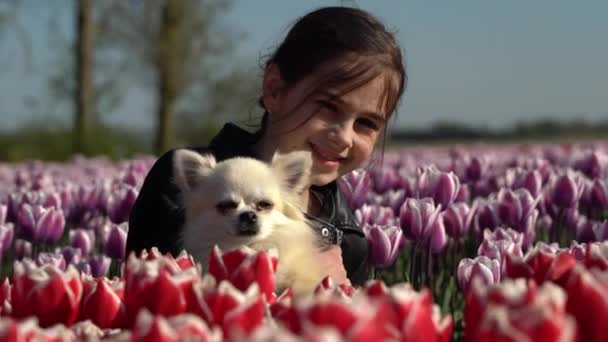 Aranyos lány chihuahua kutya ül tulipán mezők virág Amszterdam régióban, Hollandia, Hollandia. Varázslatos hollandiai táj tulipánnal Hollandiában Trevel és a tavaszi koncepció. 4k videó