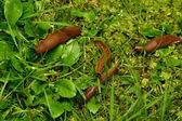Fotografie Španělský slimáci invaze v zahradě
