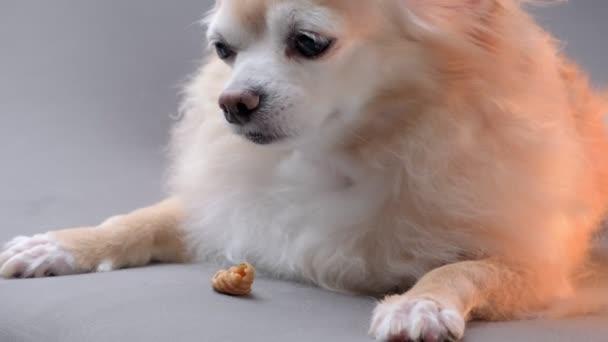 Roztomilý hnědý čivava pes ležel líný na pohovce s jídlem pohoštění snack zůstat doma koncept