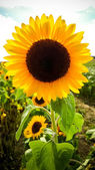 Velké slunečnice se sluníčkem