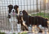 Fotografie zwei kleine Hunde