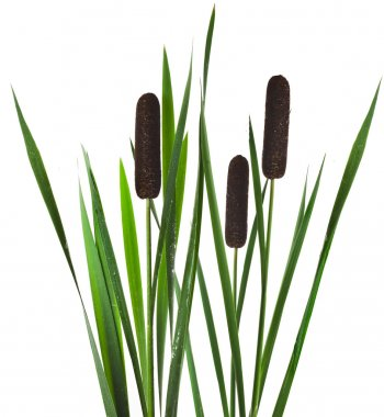 Reeds with green leaves