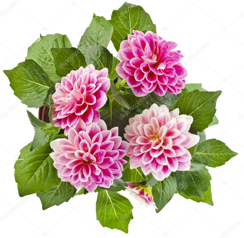 Pink Dahlia Flowers bouquet — Stock Photo © Madllen #58791647