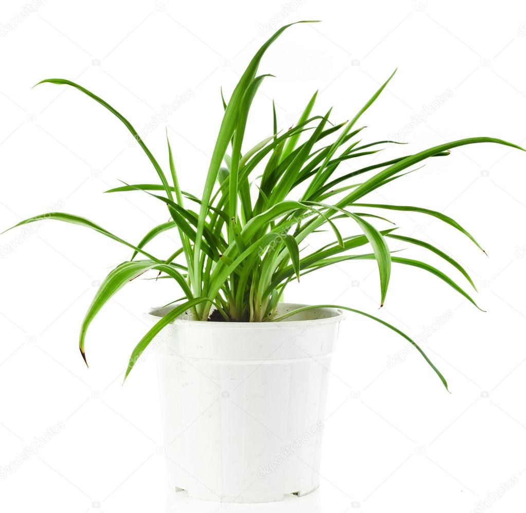 chlorophytum plante verte en pot de fleurs photographie madllen 58791699. Black Bedroom Furniture Sets. Home Design Ideas