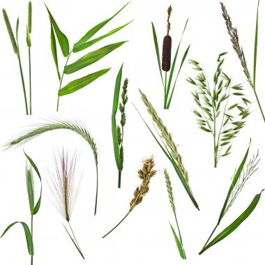 set of green reed plants