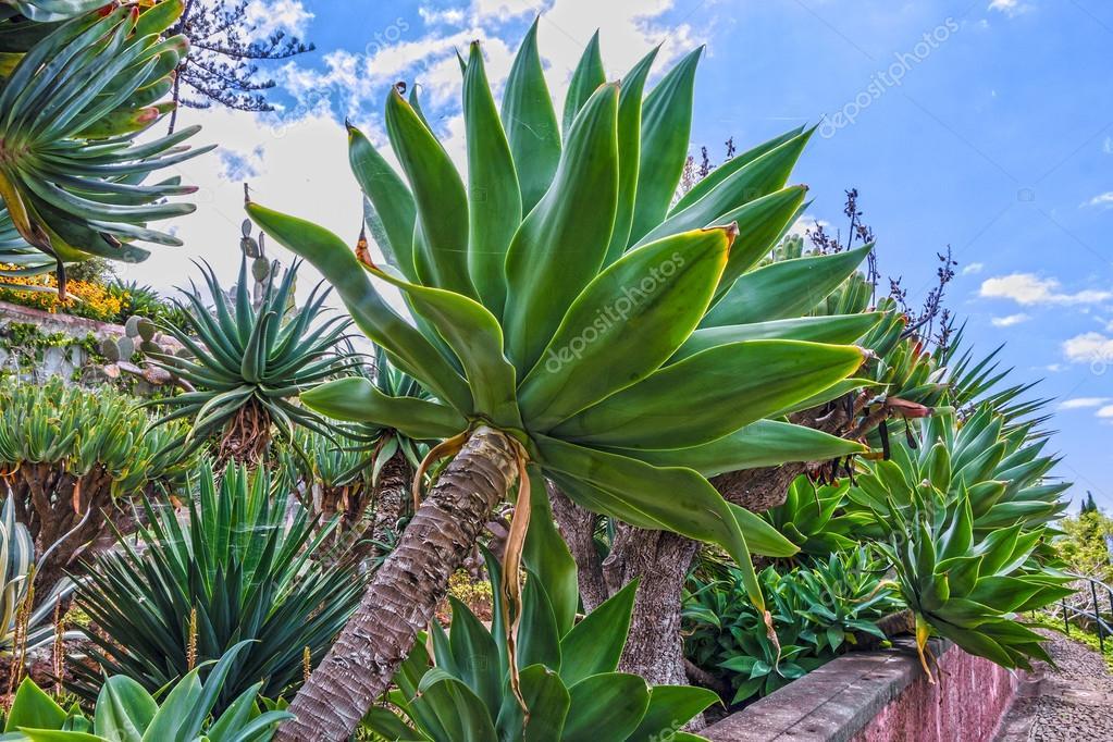 tropische pflanzen im tropischen botanischen garten monte funchal mad stockfoto 118283296. Black Bedroom Furniture Sets. Home Design Ideas