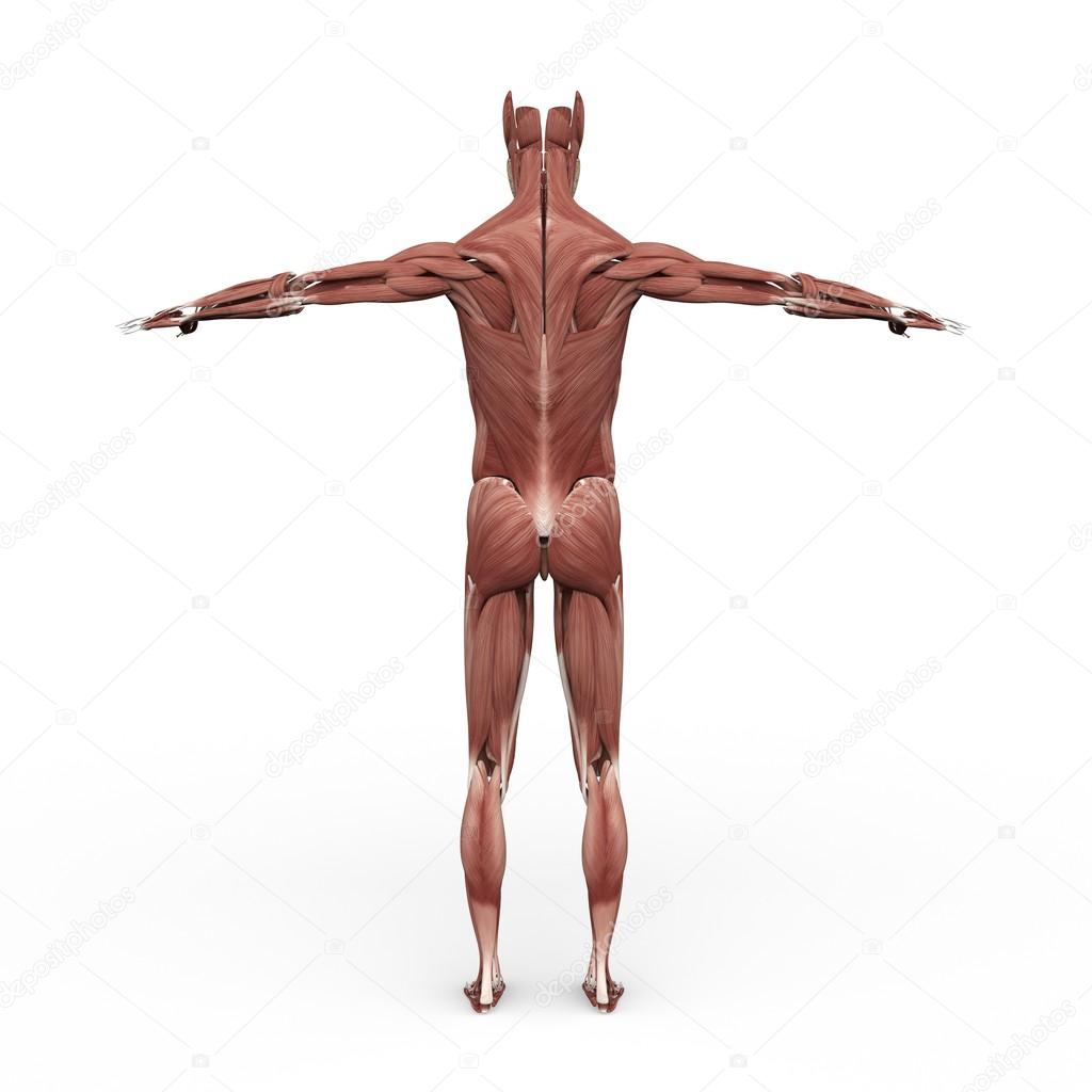 Male Anatomy Muscular back — Stock Photo © suzi44 #55883205