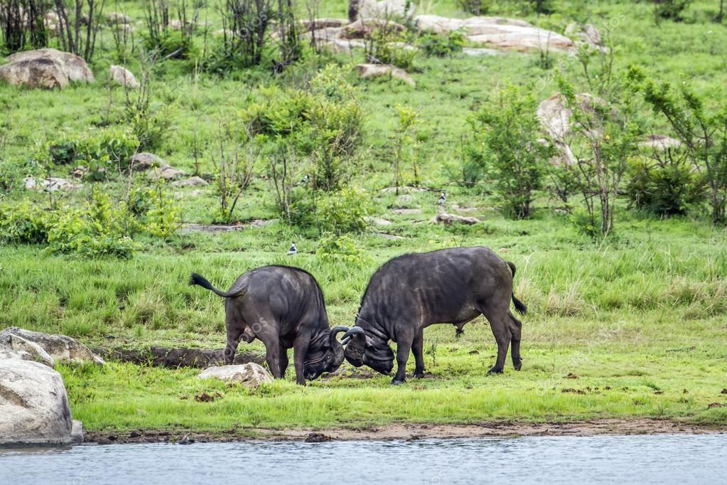 Image result for парке Крюгера буйволов