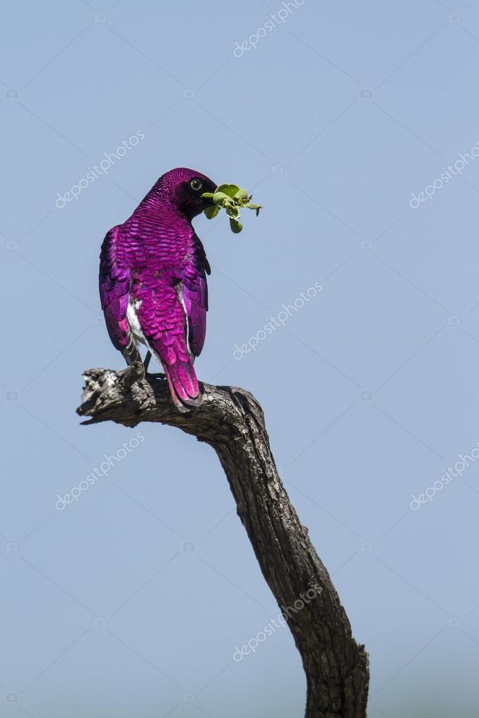 Violet-backed starling in Kruger National park, South Africa