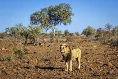 African lion male standing in drough savannah in Kruger National park, South Africa ; Specie Panthera leo family of Felidae