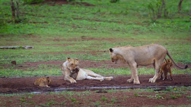 Two African lioness with cubs at waterhole in Kruger National park, South Africa ; Specie Panthera leo family of Felidae