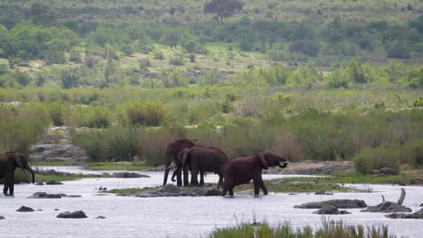 Four African bush elephant moving in river in Kruger National park, South Africa ; Specie Loxodonta africana family of Elephantidae