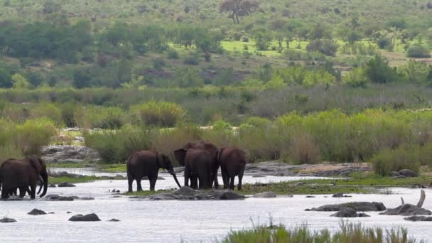 African bush elephant herd moving in river in Kruger National park, South Africa ; Specie Loxodonta africana family of Elephantidae