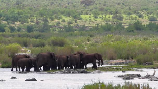 African bush elephant herd crossing the river in Kruger National park, South Africa ; Specie Loxodonta africana family of Elephantidae