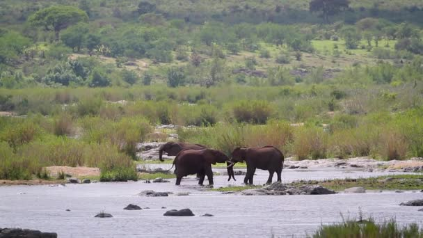 Two African bush elephants fighting in riverside in Kruger National park, South Africa ; Specie Loxodonta africana family of Elephantidae