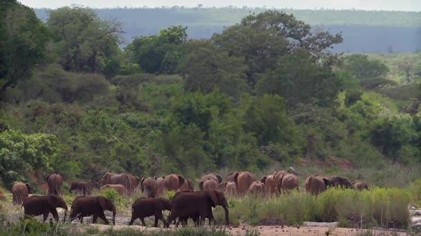 Afrikai bozót elefántcsorda a Kruger Nemzeti Parkban (Dél-Afrika); Specie Loxodonta africana Elephantidae család