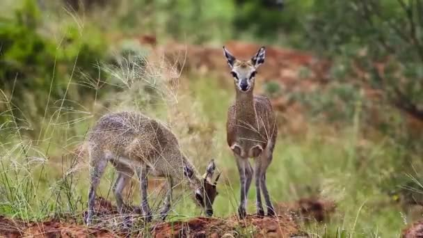 Klipspringer couple standing in termite mound in the wind in Mapungubwe National park, South Africa ; Specie Oreotragus oreotragus family of Bovidae