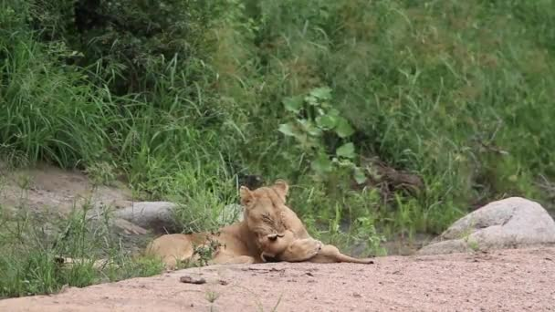 African lioness bonding cub in Kruger National park, South Africa ; Specie Panthera leo family of Felidae