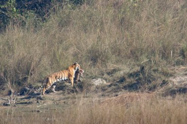 Bengal tiger in Bardia national park, Nepal