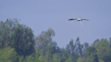 Painted Stork defecating on flight in Bardia Nepal