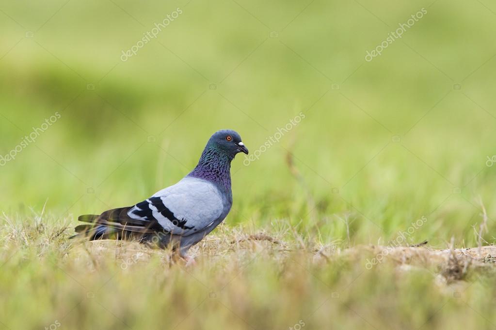 Rock Pigeon In Pottuvil Sri Lanka Stock Photo C Utopia 88