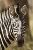 Zebra zebra v Kruger National park