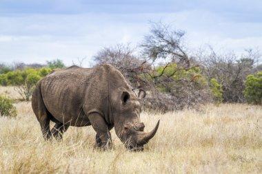 Southern white rhinoceros in Kruger National park