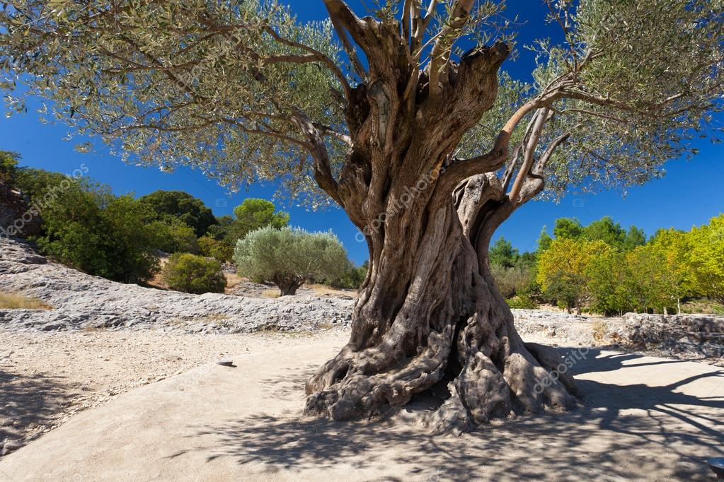 Old  olive tree at sunny day