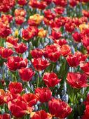 gyönyörű piros tulipán virágok
