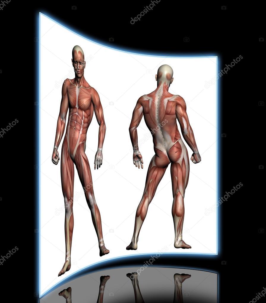 menschliche Anatomie - männliche Muskeln — Stockfoto © vitanovski ...
