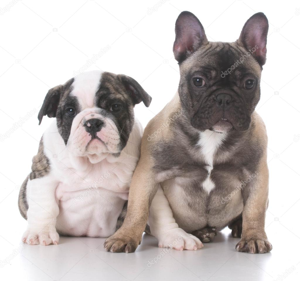 English And French Bulldog Puppies Stock Photo C Willeecole 101263882
