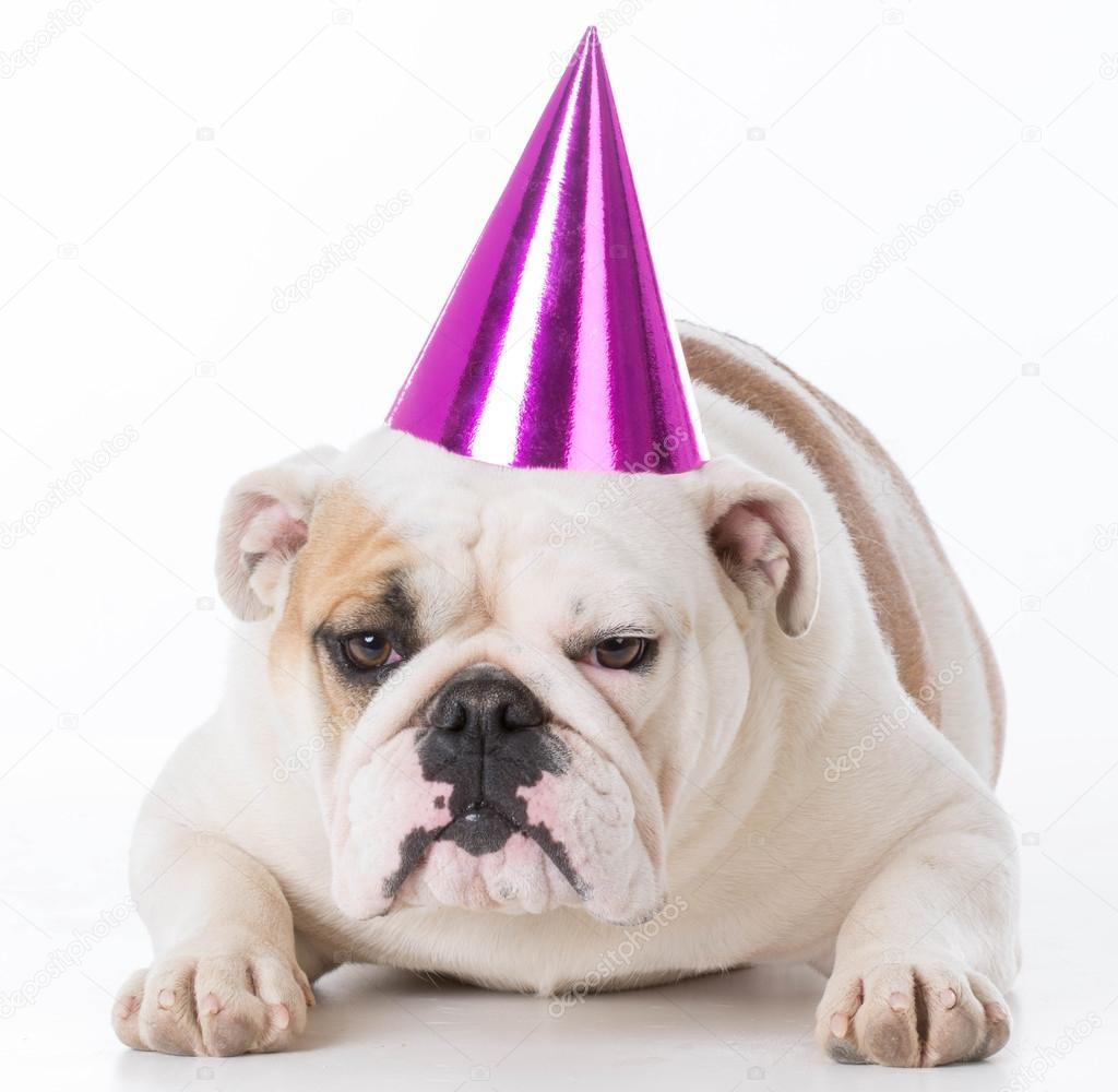 Dog Wearing Birthday Hat Stock Photo C Willeecole 111538136